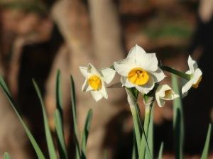 Narcissus spp./ Narcissus/ スイセン 水仙