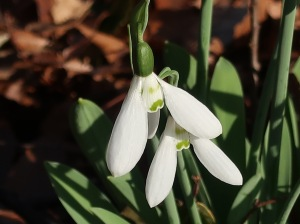 Galanthus spp./ Snowdrop/ スノードロップ