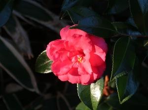 Camellia sasanqua/ Sasanqua camellia/ サザンカ