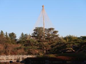 Pinus/ Pine/ マツ