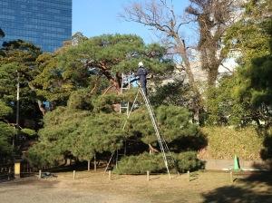 松の手入れをする庭師 Gardener caring pine tree