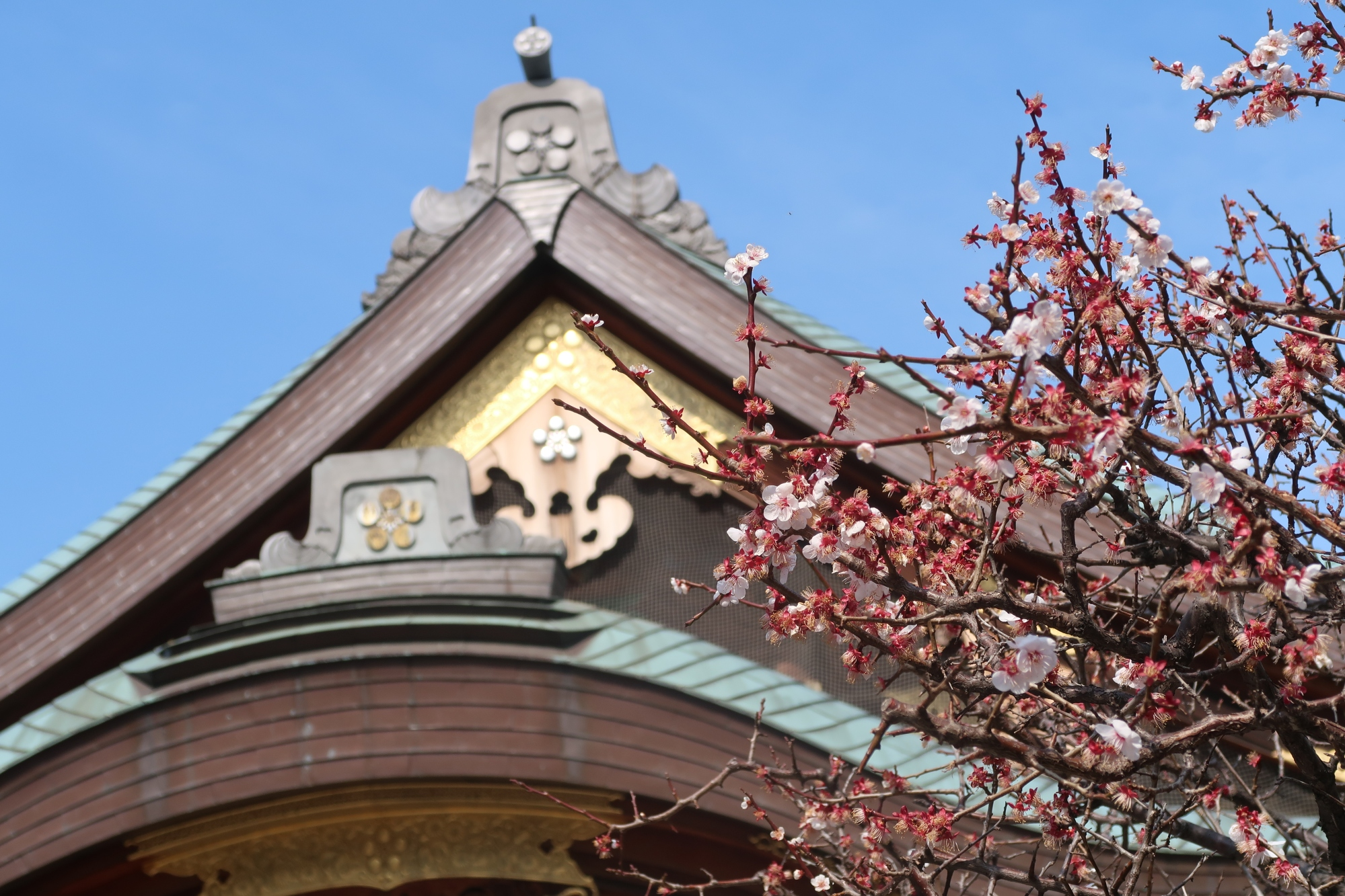 Japanese apricot and main building