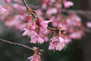 Cherry (Okame variety)