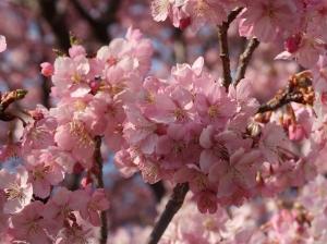 Cerasus lannesiana 'Kawazu-zakura'/ Cherry var. Kawazu-zakura/ カワヅサクラ 河津桜