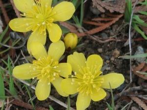 Eranthis cilicica/ Winter Aconites/ キバナセツブンソウ 黄花節分草