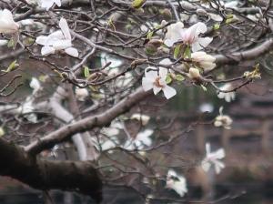 Magnolia kobus/ Kobushi magnolia/ コブシ 辛夷