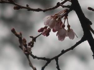 Cerasus × yedoensis/ Someiyoshino/ ソメイヨシノ 染井吉野
