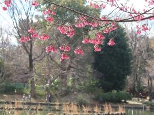 Cerasus campanulata/ Taiwan cherry/ カンヒザクラ 寒緋桜