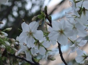 Cerasus speciosa/ Oshima zakura/ オオシマザクラ 大島桜