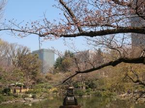 Cerasus × yedoensis/ Someiyoshino (Cherry) ソメイヨシノ cherry beside a pond