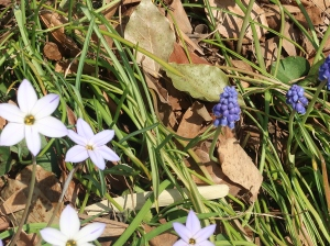 Spring star and Grape Hyacinth