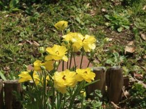 Ranunculus/ Ranunculus Butterfly/ ラックス ラナンキュラス