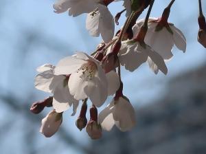 Cerasus × yedoensis/ Someiyoshino (Cherry) ソメイヨシノ 染井吉野