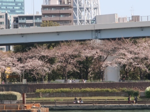Cherries on banks of Sumida river