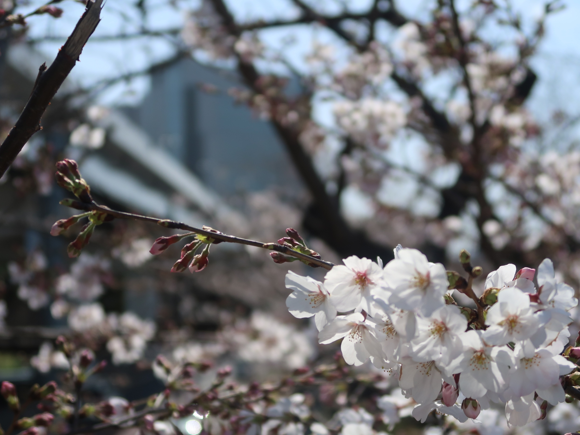 Cherries on banks of Sumida river