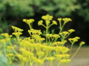 Patrinia scabiosifolia/ Patrinia/ オミナエシ