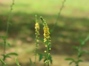 Agrimonia pilosa var. japonica/ Hairy agrimony/ キンミズヒキ