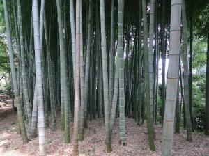 Phyllostachys heterocycla/ Moso bamboo/ モウソウチク