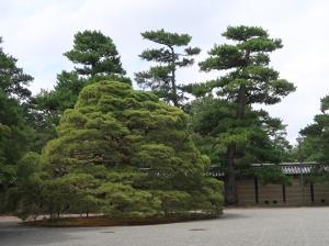 大宮御所 前庭の松 Pine tree on the front garden of Omiya palace