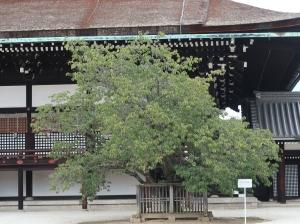 紫宸殿 左近の桜 品種はヤマザクラ East side cherry tree in front of garden of Shishinden
