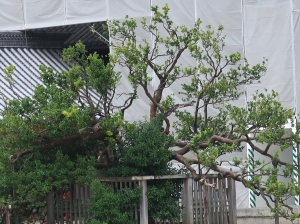 紫宸殿 右近の橘 West side Citrus tachibana tree in front of garden of Shishinden