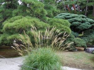 ススキ Japanese pampas grass