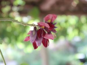 Pueraria lobata/ Kudzu/ クズ