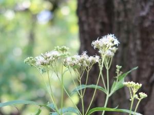 Eupatorium japonicum/ Thoroughwort/ フジバカバ