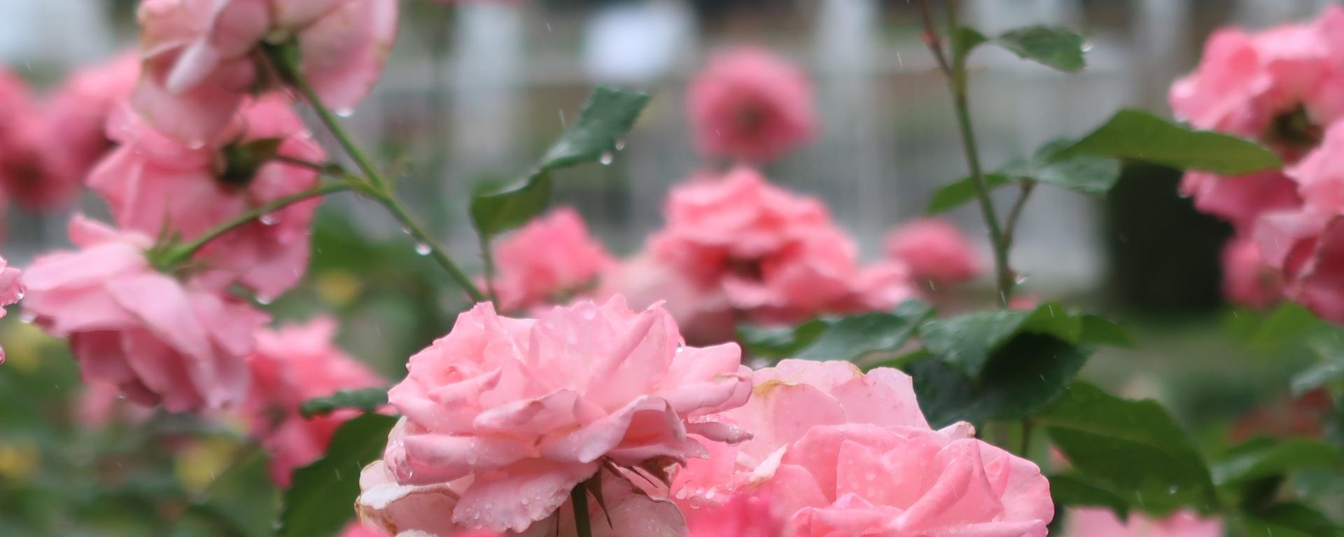 Rosa. X Queen Elizabeth/ クイーンエリザベス Modern garden rose, Modern garden rose