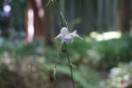 Flowering False anemone/ レンゲショウマ 蓮華升麻